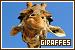 Giraffes: